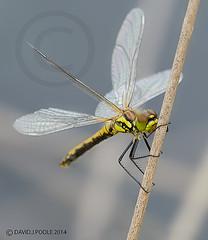 Female Black Darter (Crazybittern1) Tags: dragonflies insects blackdarter sigma70300mmmacro foulshawmoss nikond7000 cumbriawildlifetrust