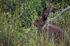 Skogshare (tobbee) Tags: gotland semester storakarlsö skogshare
