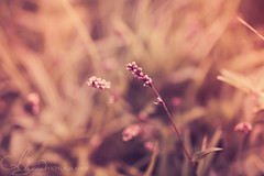 Sunup (AlyKPhoto) Tags: morning wild sun flower green nature beauty grass yellow canon botanical outside outdoors haze weed flora soft blossom bokeh country rustic relaxing calming bloom wildflower 6d