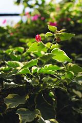 (kecotting) Tags: flower green garden nikon longwoodgardens d5100