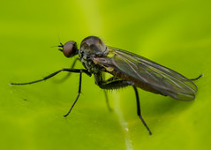 An-Empis (alf.branch) Tags: macro sigma olympus flies