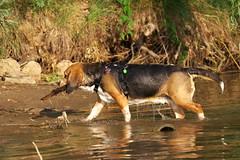 P1080530a (hohash) Tags: beagle jagdhund