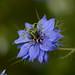 Nigelle, une des (nombreuses) merveilles de la Nature :)