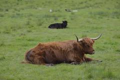 SCHNOOZE OF THE WOOLLY-BULLY (DESPITE STRAIGHT LINES) Tags: cloud clouds landscape scotland cow nikon flickr raw day cattle stirling september gps bovine highlandcattle callander d800 wearefamily heilancoo kyloe highlandcows lochachray paulwilliams nikon70200mm nikkor70200mmf28 nikond800 nikongp1 despitestraightlines lochachrayscotland ilobsterit boghaidhealach dukespassscotland riverturk riverturkscotland threelochsachrayforrestdrive abbotsfordlodge lochachraystirling