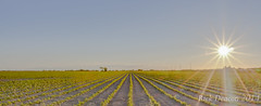 Rows & Rows (Rick Deacon) Tags: sunset panorama corn farm horizon harvest wideangle farmland plantation hdr highdynamicrange
