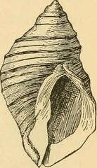 Anglų lietuvių žodynas. Žodis single-shelled reiškia vienas-su kevalais lietuviškai.