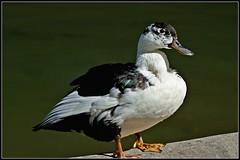 Melange (Stefy_P) Tags: flickr natura uccelli animali anasplatyrhynchos muscovy pekin cairinamoschata anatidi ibridi mulard