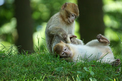 two little monkeys (2) - Barbary Macaques - Berberaffen (okrakaro) Tags: two nature animal juni germany zoo little bokeh natur monkeys zwei affen kleine 2014 barbarymacaque berberaffen rheiine
