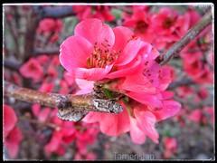 Pretty in pink. (tameristan) Tags: flower nature flowers spring pink beautiful garden rose 花 yellow green love summer white pretty red 꽃 plant cute nofilter floral tree pembe tameristan pembeaşkı çicek çiçek canon canonpowershot