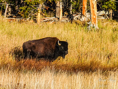 Where the Buffalo Roam - (dbking2162) Tags: wildlife wyoming nature nationalgeographic nationalparks yellowstone buffalo outside outdoor trees anderson