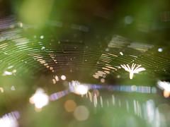 Dandelion Web (Aldo(Teo)) Tags: spider web spiderweb macro bokeh nature outdoors strand dandelion spore