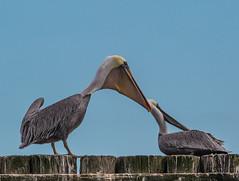 Brown Pelican (Pelecanus occidentalis) (NigelJE) Tags: brownpelican pelican pelecanus pelecanusoccidentalis pelecanidae nigelje westport westportmarina findingnemo nemo
