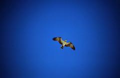Ägypten 1999 (765) Hurghada: Greifvogel (Rüdiger Stehn) Tags: afrika ägypten egypt nordafrika 1999 winter urlaub dia scan analogfilm 1990er slide 1990s diapositivfilm analog kbfilm kleinbild canoscan8800f canoneos500n 35mm natur reise reisefoto misr tier vogel greifvogel hurghada albahralahmar