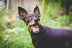 - Você falou petisco? (nanysendra) Tags: dog pinscher pepy cão