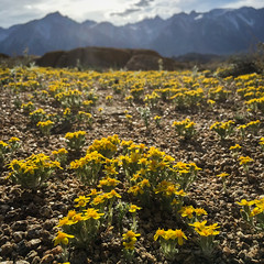 Small Yellow Flowers in the Alabama Hills (Jeffrey Sullivan) Tags: yellow desert widlflowers alabama hills recreation area blm iphone 6s death valley mobile phone cellphone camera images iphoneography california usa apple photo copyright 2016 jeff sullivan march united states alabamahills bureauoflandmanagement easternsierra inyocounty