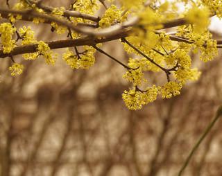 Premier arbre en fleurs en mars - First tree with flowers in march