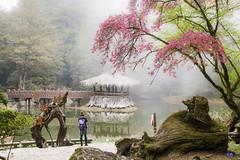 IMG_7506 (Rj Wu) Tags: 台灣 嘉義 阿里山 姊妹潭 櫻花 雲霧 雲 湖泊 森林 光 taiwan sakura cherryblossoms