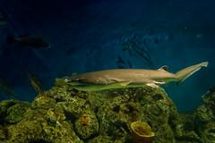 Tiburón Moteado (claudioromero) Tags: temaiken