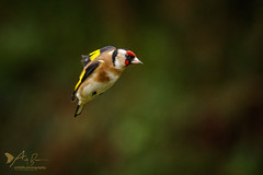 Goldfinch in flight 2 (ABPhotosUK) Tags: animals birds canon cardueliscarduelis dartmoor devon ef100400mmisii eos7dmarkii finches fringillidae garden goldfinch inflight seasons wildlife winter