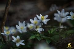 BIANCO (Lace1952) Tags: fiori bianco primavera sottobosco prato sfocato bokeh panasoniclumix triotar135mmf4