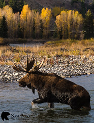 MO356 (Sam Parks Photography) Tags: alcesalcesshirasi gtnp gye grandtetonnationalpark greateryellowstoneecosystem jacksonhole nps northamerica parkservice river rockies rockymountains shirasmoose tetonrange usa unitedstatesofamerica wyoming animal antlers autumn biggame breedingseason cervic cervidae cervine cottonwoodtrees creek cross crossing fall fallcolor foliage ford fording habitat herbivore herbivorous hoof hoofedmammal hooved hooves lake large male mammal matingseason meadow nature pond rut rutting stream trophybull ungulate valley wade wading water wild wildlife woods