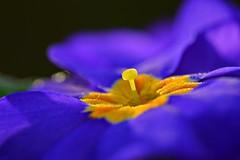 Orange and Blue... (Maria Godfrida) Tags: macromondays orangeandblue blue flower flora closeup macro nature petals outdoor colourful colorful brilliant hmm orange colours colors 7dwf