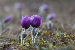 Zwillinge? (Danubio!) Tags: küchenschelle schwäbischealb badenwuerttemberg badenwürttemberg frühling spring primavera blume flower zwillinge makro