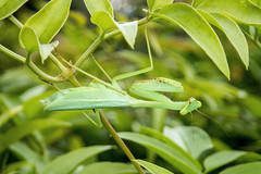 South African Praying Mantis (Chris_Moody) Tags: miomantiscaffra southafrican springbok mantis mantid praying newzealand introduced nonnative invasive pest