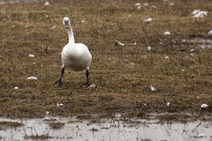 Who's there? (martinaschneider) Tags: tundraswan swan aylmer ontario spring migration
