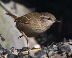 Wren on the run! (Carl Bovis Nature Photography) Tags: wren bird nature northsomerset brean breandown breandowncove somerset springwatch carlbovisnaturephotography bbcspringwatch