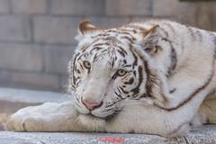Apollo ♂ - Blue-Eyed Prince (Belteshazzar (AKA Harimau Kayu)) Tags: apollo tiger zoo animal bigcat bigcats feline bengaltiger pantheratigristigris königstiger indischertiger eltigredebengala tigredubengale latigrerealedelbengala бенгальскийтигр 孟加拉虎 whitetiger weisertiger tigreblanco tigreblancroyal белыйтигр 孟加拉白虎 zooshot tobu tobuzoo snowwhite mirrormirror babytiger baby kid keddo