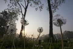 Lo sai che i tarassaci son alti (_milo_) Tags: taraxacumofficinale dentedileone soffione fiori grandangolo angera oasi bruschera italia italy canon eos 60d walimex 14