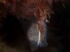 Clavellina dellavallei (Cositos :)) Tags: olympus epl2 zuiko 60mm macro diving underwater photography fotosub fotografía submarina clavellina dellavallei