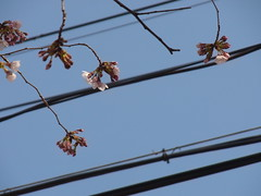 Modest ones (nofrills) Tags: flora floral plant plants flower flowers blossom blossoms cherry cherryblossom cherryblossoms season spring 桜 ソメイヨシノ urbantree japan powerlines powerline sky bud buds beginning