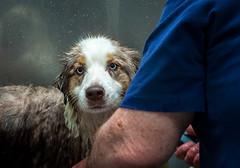 15-52 Della, Wide Eyed and Begging (janecumming33) Tags: 52weeksfordogs aussies australianshepherd dogs pets bath