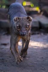 Fossa (Cloudtail the Snow Leopard) Tags: zoo heidelberg tier säugetier animal mammal beutegreifer predator fossa frettkatze cryptoprocta ferox