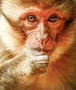 Barbary Ape--Barbary Macaque (ronniegoyette) Tags: march2017 middleatlasmtnsmoroccovacation mildelttoazrou baby monkey barbaryape barbarymacque cedar forest portrait