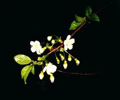 У темряві / In the darkness (ruta / рута) Tags: flower blossom cherry waterdrop urbannature night
