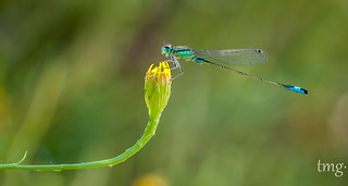 Ischnura elegans, macho (Common Bluetail, male)