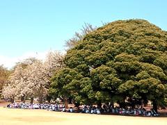 Shinjuku Gyoen Park (yukohayashi2) Tags: bigtree park sakura 子供 大きな木 こども