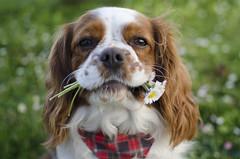 Flowers for you// Flores para ti (Mireia B. L.) Tags: daisies margaritas margarides cavalierkingcharlesspaniel cavalierkingcharles dog dogflowers floresperro perro dogportrait spring primavera spring2017