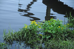 Sumpfdotterblume (Caltha palustris) an der Treene; Süderhöft, Nordfriesland (5) (Chironius) Tags: süderhöft nordfriesland schleswigholstein deutschland germany allemagne alemania germania германия niemcy treene fluss river rivière rio поток fiume stream gelb ranunculales hahnenfusartige ranunculaceae hahnenfusgewächse ranunculoideae caltheae calthea sumpfdotterblume wasserspiegel gegenlicht spiegelung refleksion reflection réflexion riflessione отражение reflexión yansıma morgendämmerung sonnenaufgang morgengrauen утро morgen morning dawn sunrise matin aube mattina alba ochtend dageraad zonsopgang рассвет восходсолнца amanecer morgens dämmerung blüte blossom flower fleur flor fiore blüten цветок цветение