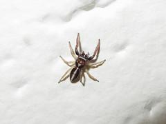 Icius subinermis (Didier Auberget Photographie) Tags: macro arthropoda arthropode arachnida arachnide chelicerata chélicérate chélicéré araneae aranéide araneomorphae aranéomorphe salticidae salticide saltique araignéesauteuse heliophaninae icius iciussubinermis araignée spider jumpingspider