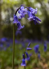 Bluebells, Banstead Woods, Surrey (Jacob Arnold Photo) Tags: leefilter 1424mm d750 nikon flowers surrey uk nature bluebells