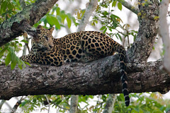Leopard (Panthera pardus) (Vidjit Vijaysanker) Tags: wildlife wildlifephotography leopard nature nagarhole karapura karnataka kabani canon canon6d canon500mm canon500mmf4l canonphotography yourshot greatnature