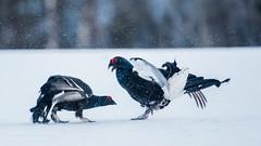 Black Grouse lekking (Tris Enticknap) Tags: kuusamo blackgrouse kuntivaara nikkor300mmf4epfedvrlens nikond750 europe finland lyrurustetrix northernostrobothnia grouse
