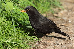 Male Common Blackbird (Turdus merula) (hazzac2004) Tags: attenboroughnaturereserve nottinghamshire male commonblackbird turdusmerula