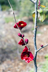 Chaenomeles japonica - Maule's quince (NeuroNeuroNeuro) Tags: chaenomeles japonica quince a6300 canon 16mm botanical garden sf bay area sigma mc11 flower plant red