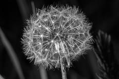 Dandelion in bloom / Taraxacum / Paardenbloem (dannybrock69) Tags: paardenbloem dandelion taraxacum macro monochrome flowers plants