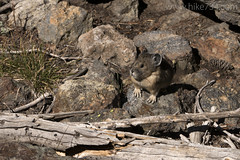 "American Pika • <a style=""font-size:0.8em;"" href=""http://www.flickr.com/photos/63501323@N07/33375335120/"" target=""_blank"">View on Flickr</a>"